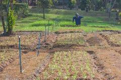 Scarecrow with organic vegetable plot. Stock Photo