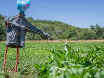 Scarecrow over potato and pumpkin platation Stock Images