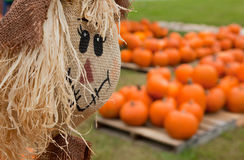 Scarecrow overlooking a pumpkin patch Stock Photos