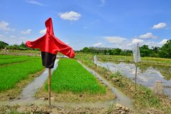 Scarecrow in the paddy field. Stock Image