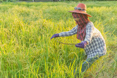 Scarecrow in paddy field. Scarecrow looks like farmer working in paddy field Royalty Free Stock Images