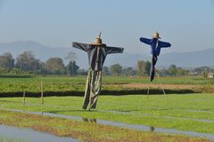 Scarecrow in paddy field. Stock Images