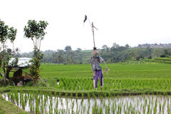Scarecrow. Photo image with  rice field and scarecrow Stock Photos