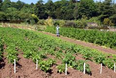 Scarecrow and potato plants in a garden Royalty Free Stock Photography