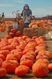 Scarecrow in a pumkin patch. A scarecrow on a bale of hay in a pumpkin patch Royalty Free Stock Photography