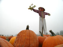 Scarecrow in Pumpkin Patch Stock Photo