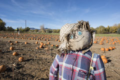 Scarecrow in the pumpkin patch Stock Photos