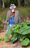Scarecrow and pumpkin plant Royalty Free Stock Photo