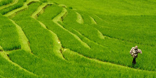 Scarecrow in rice field Stock Images