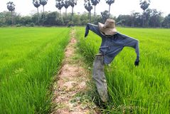 Scarecrow in rice field Stock Photo