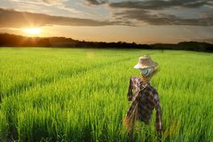 Free  Scarecrow Rice Field Stock Images - 6709304