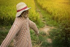 Scarecrow in rice field. made to guard the fields. High resolution image gallery royalty free stock image