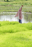 Scarecrow in rice field. Royalty Free Stock Photos