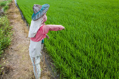 Scarecrow beside rice field Royalty Free Stock Images