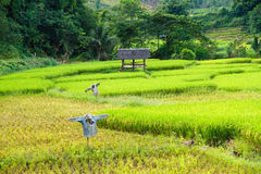 Scarecrow in rice paddies of northern Thailand. Stock Photo