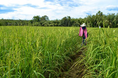 Scarecrow in a rice paddy stock image