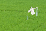 Scarecrow in a ricefield Royalty Free Stock Photography