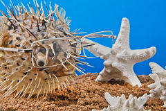 Scarecrow of a sea hedgehog on a blue background. Sea urchin with glasses in the sand with starfish on blue background Stock Photo