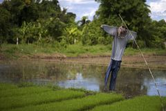 Scarecrow serves the rice farmers.  stock images