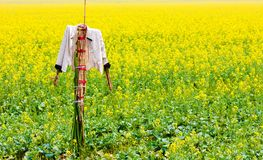 Scarecrow stands guard in rape field Royalty Free Stock Photos