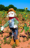 Scarecrow in sunflower field Royalty Free Stock Image