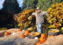 Scarecrow surrounded by pumpkins and hay. A scarecrow surrounded by some orange and white pumpkins, straw and barrels with corn Royalty Free Stock Photo