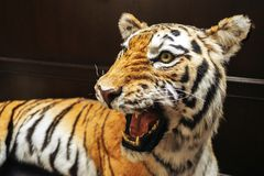 Scarecrow of tiger, evil tiger. Open mouth big fangs stock photos