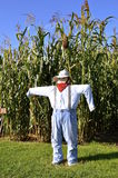 Scarecrow wards off pests to a cornfield. A colorful human looking scarecrow keeps pests away from a field of tall corn stalks Royalty Free Stock Photo