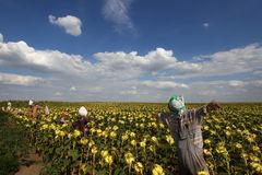 Scarecrows. A group of scarecrows in the sunflower field Royalty Free Stock Images