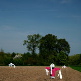 Scarecrows in field. Of planted crops, countryside scene Royalty Free Stock Photos