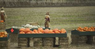 Scarecrows and pumpkins. Pumpkins laid out for sale on bales of hay beside scarecrows Stock Images