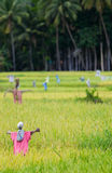 Scarecrows on rice field Stock Image