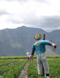 Scarecrows in a strawberry field Royalty Free Stock Image