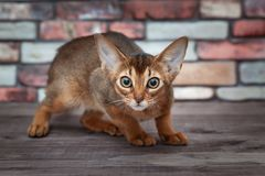 Scared Abyssinian kitten with bristling. Back stock image
