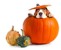 Scared beagle in pumpkin . Royalty Free Stock Images