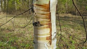 Scared  birch tree. Trunk of scared young birch tree stock video footage