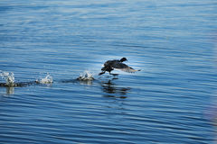 Scared bird running on water Stock Images