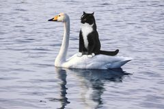 Scared black cat floats on a white swan