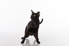 Scared Black Oriental Shorthair Cat Sitting on White Table with Reflection. White Background. Stock Images