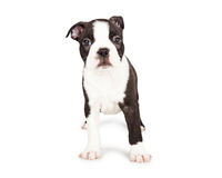 Scared Boston Terrier Puppy Standing Stock Photo
