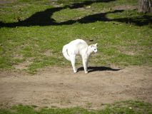 A scared bristly white cat. A scared and bristly white cat in the garden. Green grass and ground stock photography