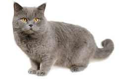 Scared British cat stands and looks stock photos