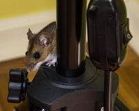 A scared brown house mouse, Mus musculus, climbing on black instrumentation. Close up side view of a juvenile house mouse peeking around from behind black stock images