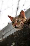 Scared Cat. Looking in wide open eyes Stock Image