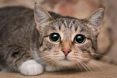 Scared cat with big black eyes. A frightened cat with big black eyes is lying on the couch. She shrank and was afraid to shake with fear royalty free stock image