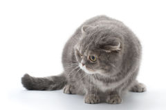 Scared cat breed Scottish fold. Stock Photos