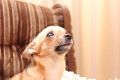 Scared chihuahua Stock Images