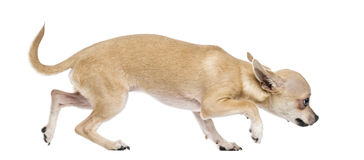 Scared chihuahua. Isolated on white Stock Photos