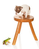 Scared chihuahua puppy. Scared chichuahua puppy on a stool looking at a big green frog royalty free stock images