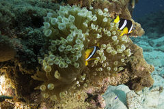 Scared Clownfish hiding in a Anemone. A scared looking clownfish hiding in a green anmeno Royalty Free Stock Photo